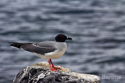 Swallow tailed gull, Punta Suarez, Isla Espanola, Galapagos Islands, Ecuador.