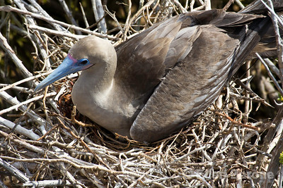 Nesting red footed booby, Punta Pitt, Isla San Christobal, Galapagos Islands, Ecuador.