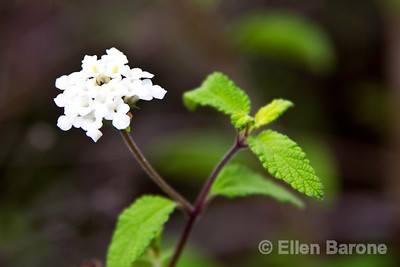 Flowering wild peppermint, Isla Isabela, Galapagos Islands, Ecuador.