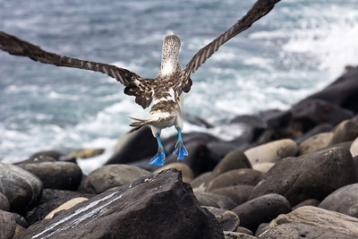 Blue footed booby takes flight, Punta Suarez, Isla Espanola, Galapagos Islands, Ecuador.