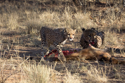 Cheetah and cub with kill at Africat Foundation Okonjima Namibia Africa