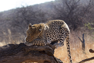Leopard at Africat Foundation Okonjima Namibia Africa