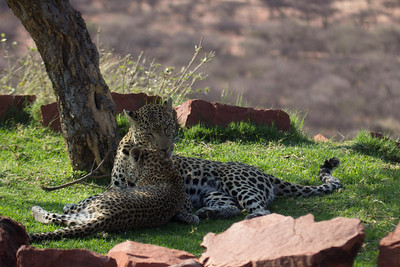 Leopard , MJ (aka: Maha Junior) ,and cub, Okonjima/Africat, Namibia
