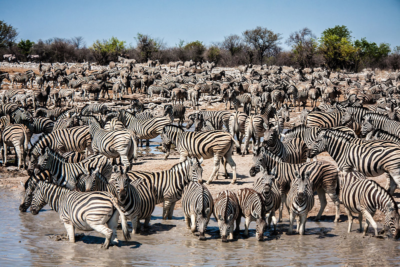 Namibia Photo Safari, hundreds of zebra gather at Kalkheuwel waterhole, Etosha National Park,  a vast protected reserve in northern Namibia with huge herds of big game.