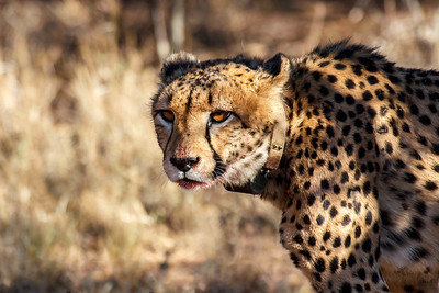 Radio collared cheetah at Africat Foundation Okonjima Namibia Africa