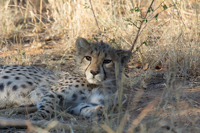 Cheetah cub at Africat Foundation Okonjima Namibia Africa