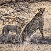 Namibia Photo Safari , Etosha National Park,  a vast protected reserve in northern Namibia with huge herds of big game