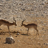 Male impalas at a standoff in Etosha National Park, Namibia, Africa