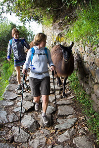 Sharing the Inca Trail with a llama at Machu Picchu, Peru, South America.