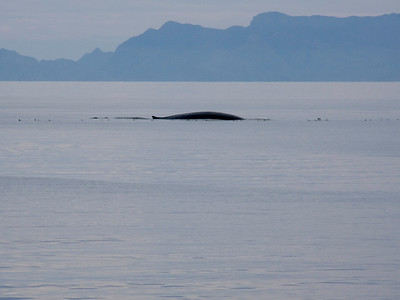 Blue whale, the world's largest, Sea of Cortez, Baja California Sur, Mexico.