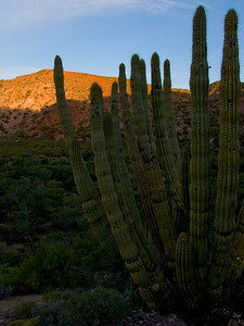 Cordon cactus, sunrise on Isla del Carmen, Sea of Cortez, Baja California Sur, Mexico.