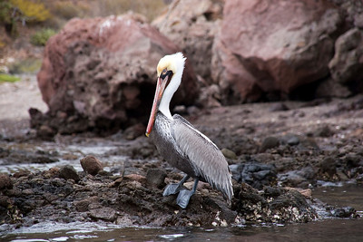 Grey pelican in breeding plumage, Isla Danzante,  Sea of Cortez, Baja California Sur, Mexico.