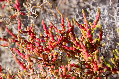 Colorful desert plant, isla del Carmen, Sea of Cortez, Baja California Sur, Mexico.