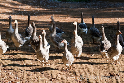 Geese, Dordogne River Valley, France.