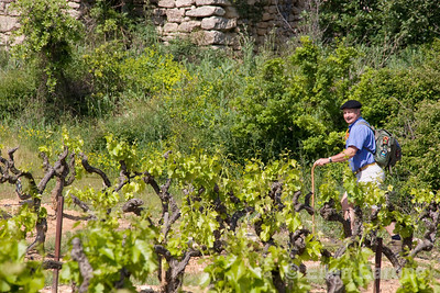 Wayfarers guide in vineyard near Gordes, the Luberon, Provence, France, Europe