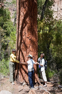 How many Wayfarers does it take to wrap a ponderosa pine? Frijoles Canyon, Main Loop trail, Bandelier National Monument, Jemez Mountains, New Mexico.