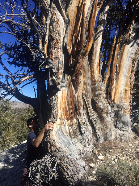 Bristlecone pine, Pinus longaeva, (tag #177) believed to be the oldest non-clonal living organism, at 5,075 years, on Earth (as of 2019). White Mountains, California.