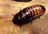 Carlos' pet cochroach