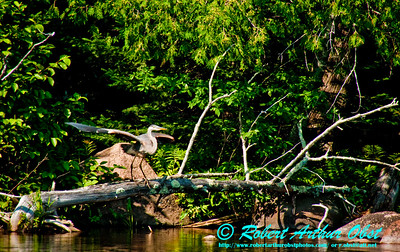 View from canoe of a Great Blue Heron posing for take off from log along verdure shores of the wild Wolf River (USA WI White Lake)