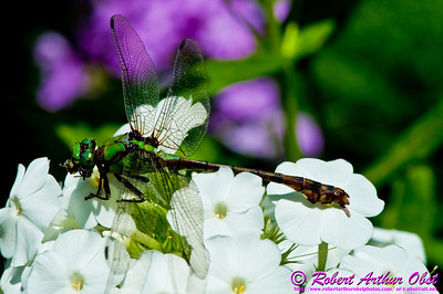 Dragon Fly on Phlox flowers by the Wild Wolf River within the Wolf River Refuge (USA WI White Lake)