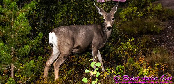 NE-AW_6016_MAT-RORP.P1.USA.WY.Moose.GrandTetonNP.SignalMountainCampground.MuleDeer-B (DSC_6016.NEF)