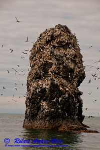 Seabirds soaring over their rock island fortress rookery within the Kachemak Bay National Estuarine Research Reserve near Halibut Cove on the western Kenai Peninsula (USA Alaska Homer)
