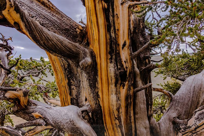 Bristlecone Pine Details