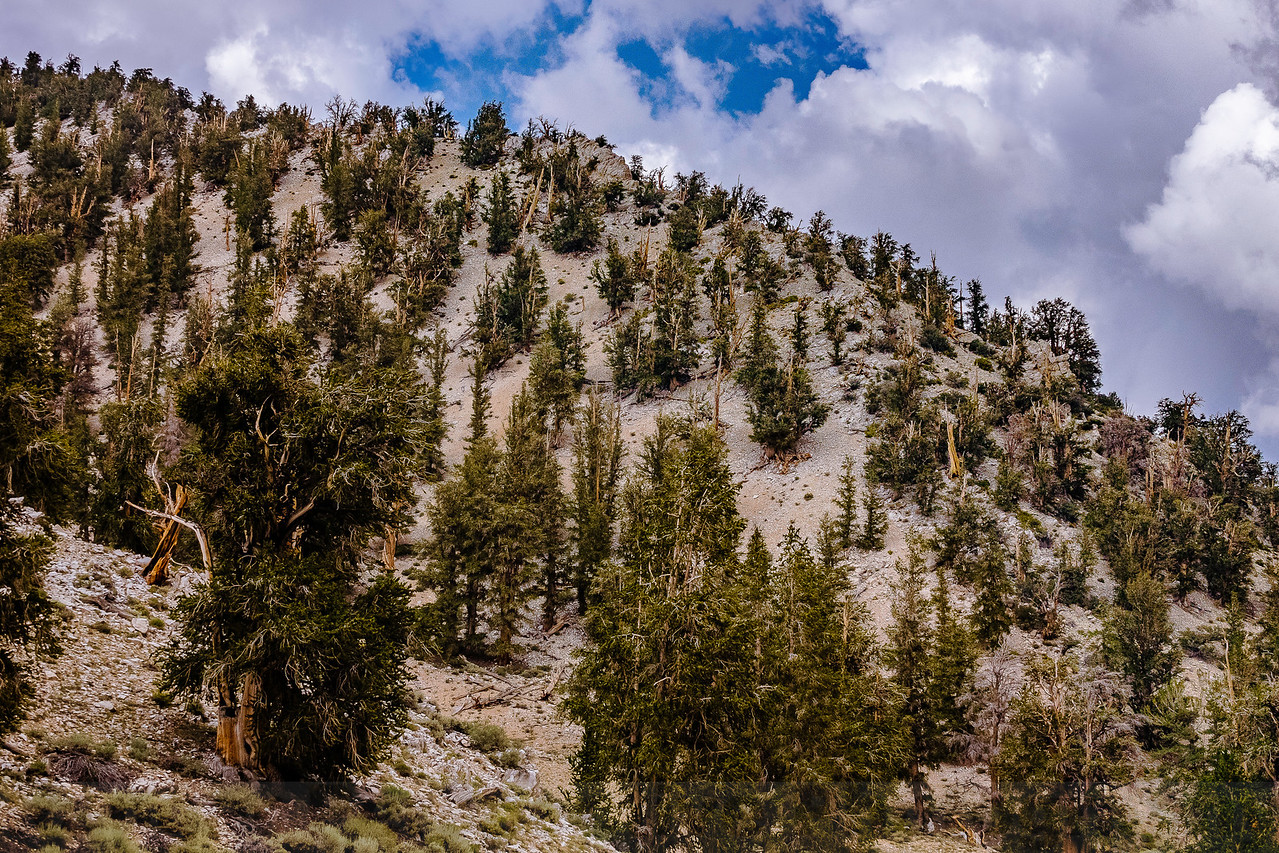 The Ancient Bristlecone Pine Forest in the White Mountain. Some trees in this forest are around 5,000 years old.