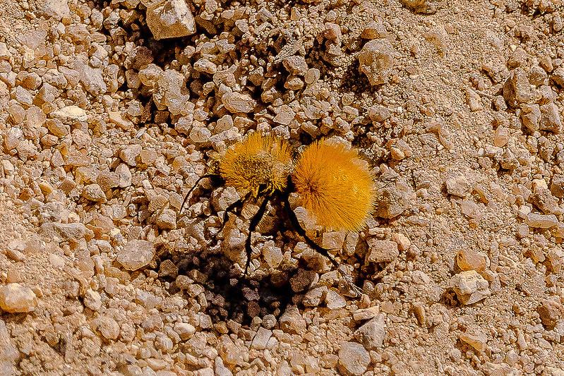 Velvet Ant in the Alabama Hills