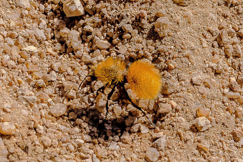 Velvet Ant in the Alabama Hills