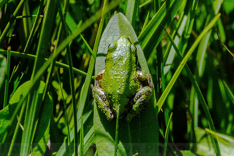 Pacific Tree Frog at Big Whitney Meadow