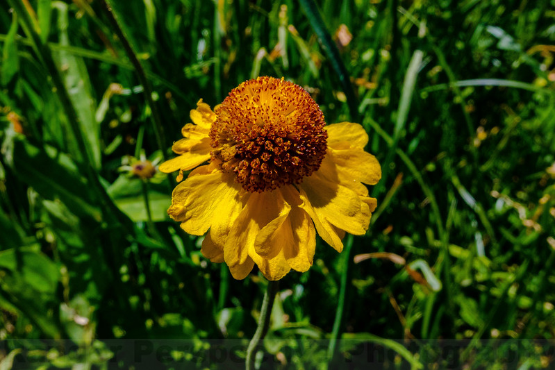 Bigelow Sneezeweed along the Kearsarge Pass Trail