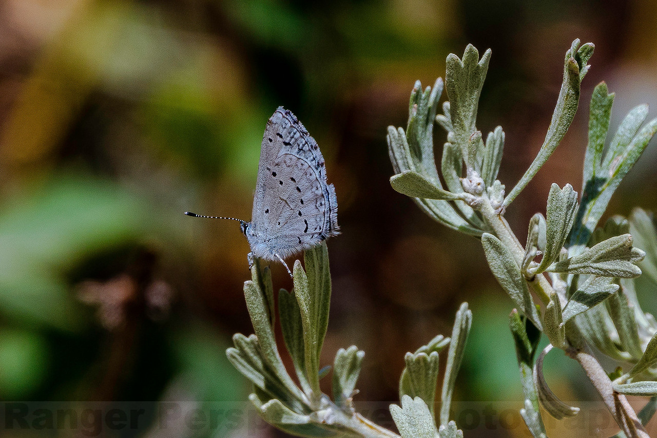 Sylvan Hairstreak on Sagebrush