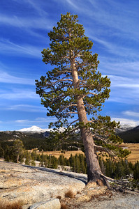 Pine on Pothole Dome. Yosemite National Park, California.  Copyright © 2010