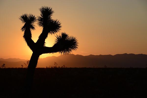 Joshua Tree Sillouette Mojave Desert, California. Copyright © 2012 All rights reserved.