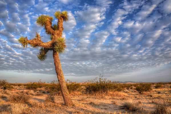 Joshua Tree and Clouds Mojave Desert, California. Copyright © 2012 All rights reserved.