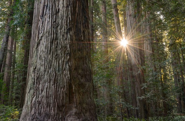 Sunburst Through Redwood Trees in the Stout Grove