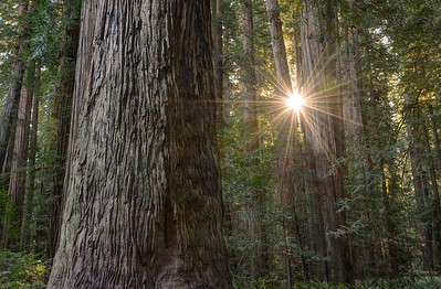 Sunburst Through Redwood Trees in the Stout Grove