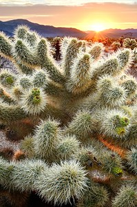 Cholla Cactus at Sunrise