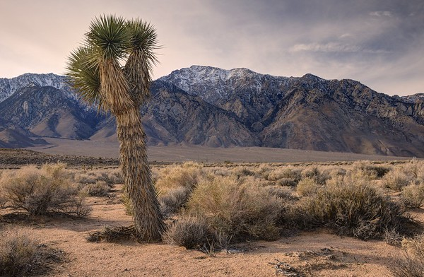 Joshua Tree and Olancha Peak