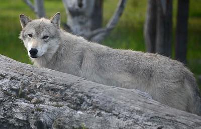Alaska Wildlife Conservation Area near Anchorage, Alaska. Copyright © 2017 All rights reserved.