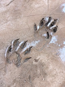 Tiny Footprints in the Mud Along the Little Colorado River