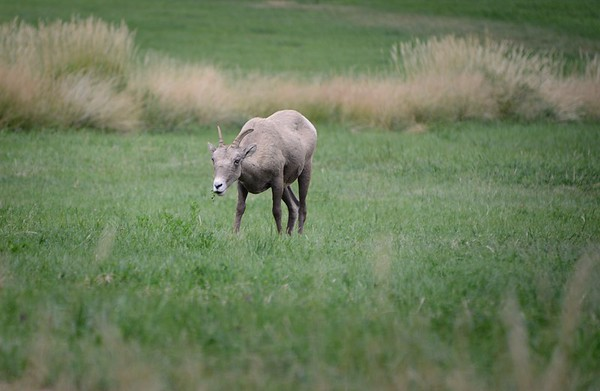 A Young Bighorn Sheep