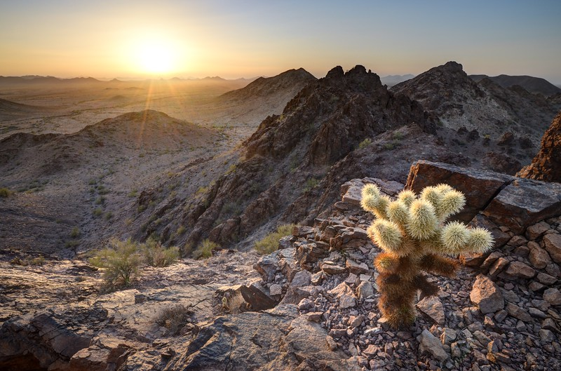 Baby Cholla Cactus Sunset