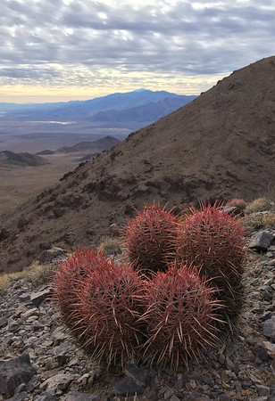 Barrel Cactus Along the Trail