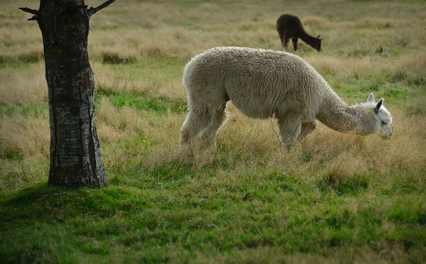 Alpaca's in the Field