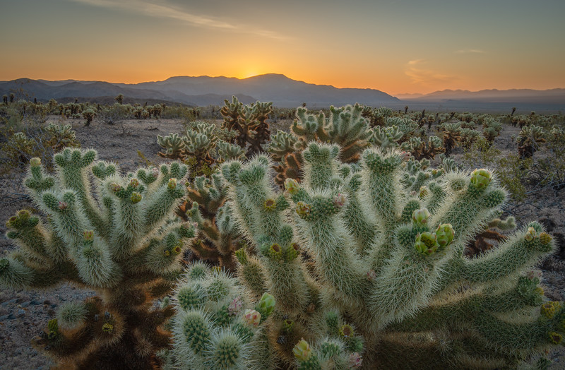 Dawn in the Cholla Cactus Garden