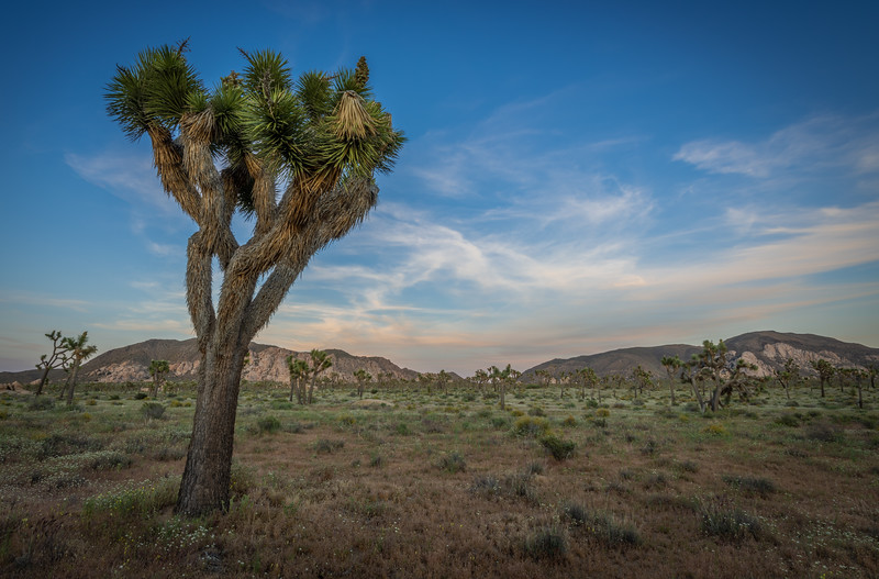 Joshua Tree and Distant Ryan Mountain