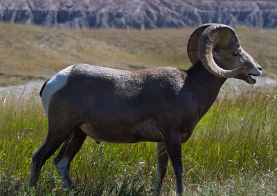 Bighorn sheep in the Badlands-South Dakota-