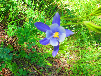Blue Columbine - the state flower.